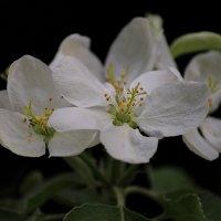Вечерний цвет..яблони :: Вера Лучникова