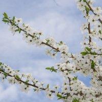 Ветка вишни на фоне неба :: Jevgenija St
