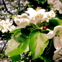 яблоня цветёт :: Сергей Кочнев