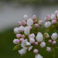 Яблоня цветёт :: Алексей Селиванов
