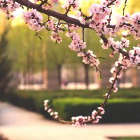 Цвет вишни :: Sholban Donduk