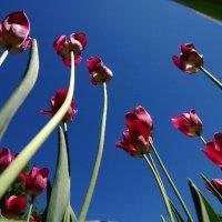 Садовые тюльпаны :: Артур Ротмистров