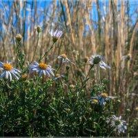 Полевые цветы :: Евгений Герасименко