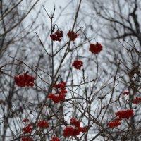 гроздья рябины :: Екатерина Иванова