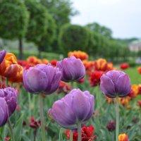 тюльпаны :: Афродита Фотолюбитель