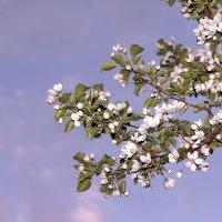 цветущая яблоня :: Владимир Гришин