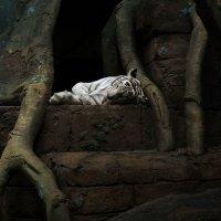 Тигр :: Ольга Кривенцова