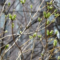 В озябший мир пришла весна... :: Маргарита Савинова