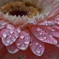 Капли на цветочке. :: Анна Тихомирова