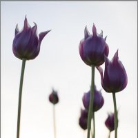 Тюльпаны :: Елена Васильева