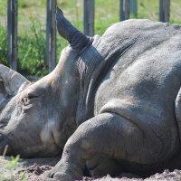 Белый носорог :: Сергей Кондратович