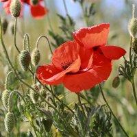 Полевые цветы :: Нилла Шарафан