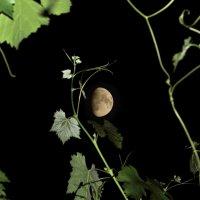 Виноград и растущая луна :: Александр Стаховский