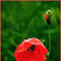 Мак - полевой цветок... :: Viktor Kleimenov