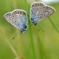 Две бабочки :: Иван Сагиров