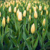 Тюльпаны :: Дмитрий Гецеров