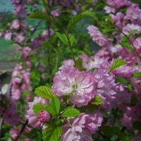 Цветы вишни :: Helen Helen