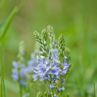 весенние цветы :: Виктория Гринченко