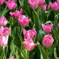 тюльпаны :: Максим Гуревич