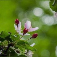 Яблоневый цвет :: Наталья Rosenwasser