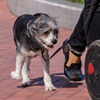 Эх, жизнь собачья... :: Сергей Исаенко