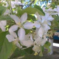 Цвет яблони :: Евгений Кочуров