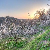 Сливовый сад :: Nataliya Barinova