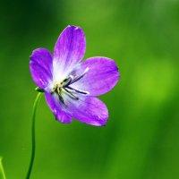 Просто цветок :: Сергей Добрыднев