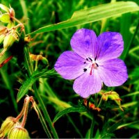 Дикие цветы. :: KATYUSHA KATYUSHA