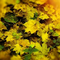 Осенние листья :: Evgenij Schleinikov
