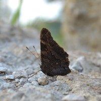 Бабочка :: Андрей Мекаев