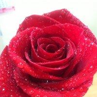 Роза :: Елена Скворцова