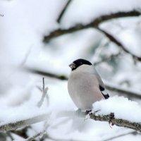 Снегирь, самочка :: Майкл