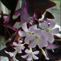 Кислица в цвету :: Нина Корешкова