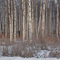 Берёзовая роща зимой :: Фотогруппа Весна-Вера,Саша,Натан