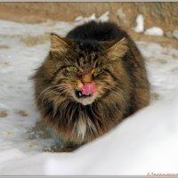 Боевой котяра :: Андрей Заломленков
