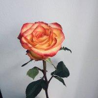 Роза :: Неля Дашкина