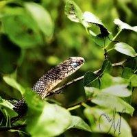 змея-полоз :: Marina Marina