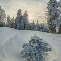 В лесу родилась ёлочка. :: Фёдор. Лашков