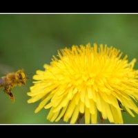 Пчёлка :: Александр Куксин
