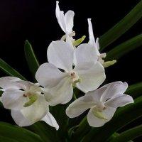 Орхидея ванда :: Ирина Приходько