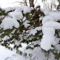 Снежные ёлки :: Виктор Шандыбин