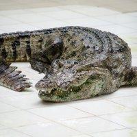 крокодил :: максим дьяков