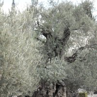 В Гефсиманском саду :: Надежда