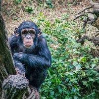 шимпанзе :: Vitaliy Mytnik