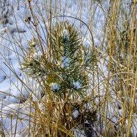 Маленькой сосенке холодно зимой .... :: Анатолий. Chesnavik.