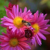 осенние пчелки :: Александр Корчемный