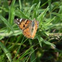 Бабочка на траве :: Paparazzi