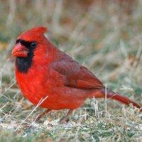 Красный кардинал. :: Alex