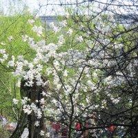 Цветет магнолия в саду :: Дмитрий Никитин
